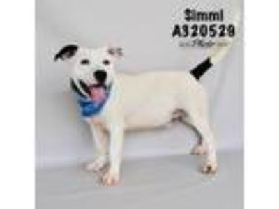Adopt SIMMI a White - with Black American Pit Bull Terrier / Mixed dog in