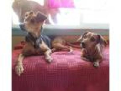 Adopt Bonus- bonded to Penni a Black - with Tan, Yellow or Fawn Jack Russell