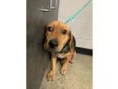 Adopt Martin a Black - with Tan, Yellow or Fawn Beagle / Mixed dog in Henderson