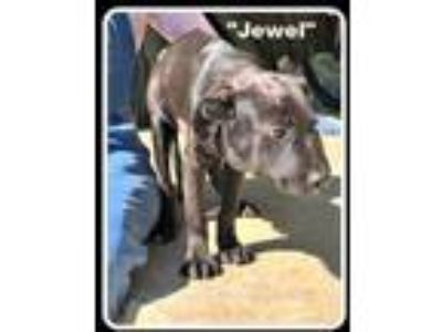 Adopt Jewel a Labrador Retriever