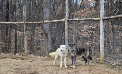 Wolf Hybrid PUPPY FOR SALE ADN-60749 - High Content Wolf Pups