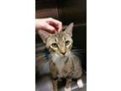 Adopt Mister a Brown or Chocolate Domestic Shorthair / Domestic Shorthair /