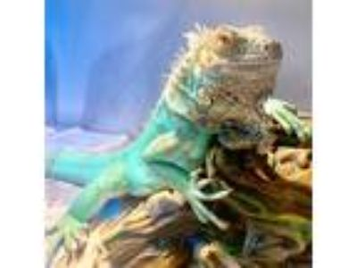 Adopt Racer a Iguana reptile, amphibian, and/or fish in Des Moines