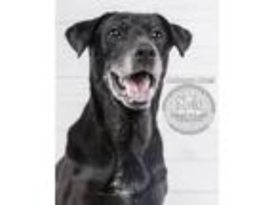Adopt Stella a Labrador Retriever / Mixed dog in Kettering, OH (23992695)