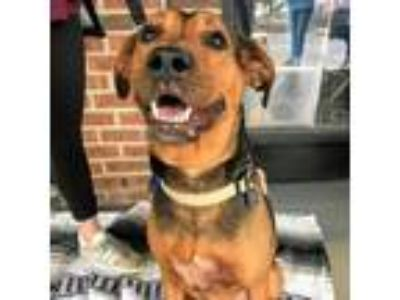 Adopt Pace a Black - with Tan, Yellow or Fawn Hound (Unknown Type) / Boxer /