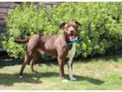 Adopt DONALD a Brown/Chocolate - with White Labrador Retriever / Mixed dog in