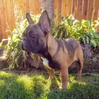 French Bulldog PUPPY FOR SALE ADN-96001 - AKC registered French bulldog