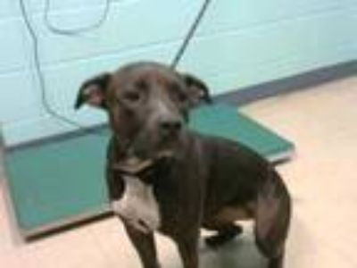 Adopt ZELDA a Black - with White American Pit Bull Terrier / Mixed dog in