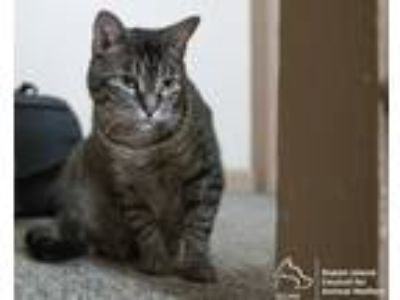 Adopt Kiki a Gray, Blue or Silver Tabby Domestic Shorthair (short coat) cat in