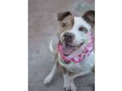 Adopt Dora a Staffordshire Bull Terrier, Pit Bull Terrier