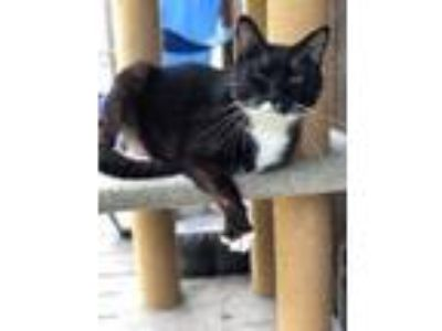 Adopt Thumper a Black & White or Tuxedo Domestic Shorthair / Mixed cat in