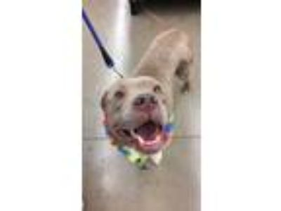 Adopt Penny a Tan/Yellow/Fawn American Pit Bull Terrier / Mixed dog in Justin