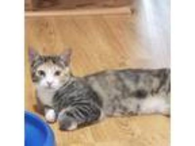 Adopt Thelma a Calico or Dilute Calico Domestic Shorthair cat in Woodstock