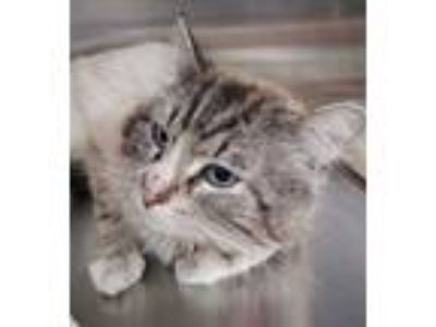 Adopt Mavi a Domestic Long Hair
