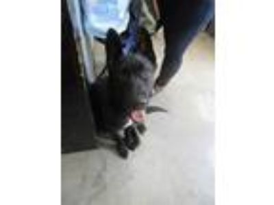 Adopt Lance a Black German Shepherd Dog / Mixed dog in Columbiana, AL (25342472)