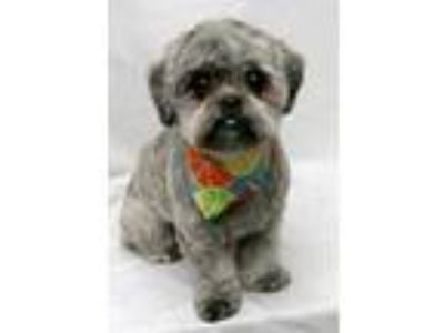 Adopt Oliver a Gray/Blue/Silver/Salt & Pepper Shih Tzu / Mixed dog in Oswego