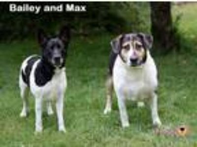 Adopt Max: Bonded with Bailey a Hound, German Shepherd Dog