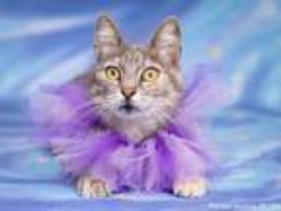 Adopt PRINCESS JASMINE a Domestic Short Hair