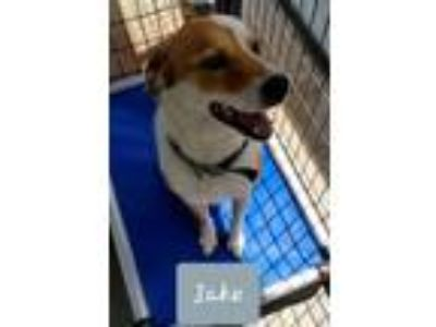 Adopt Jake a White - with Brown or Chocolate Labrador Retriever / Mixed dog in