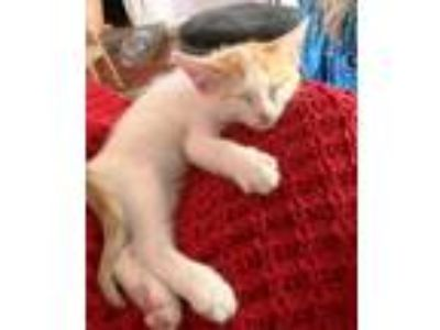 Adopt Meowers a Domestic Short Hair
