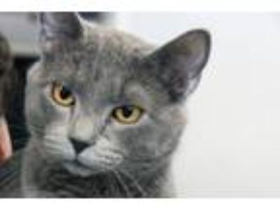 Adopt Kit Kat a Gray or Blue Russian Blue (short coat) cat in Sheridan