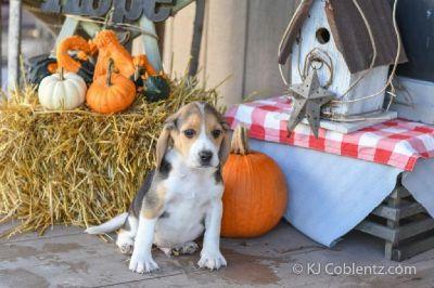 Buster Male Beagle