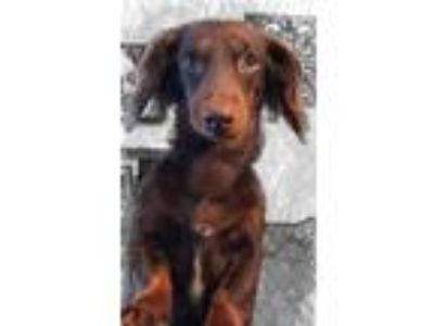 Looking for miniature Dachshund stud
