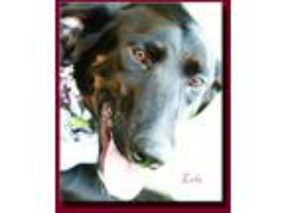 Adopt Lola Looney Tunes a Black - with White Labrador Retriever / Mixed dog in