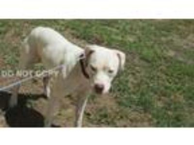 Adopt Bella a White Pit Bull Terrier / Mixed dog in Rocky Mount, NC (25889175)
