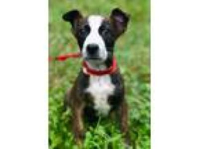 Adopt EASTON a Brown/Chocolate - with White Rat Terrier / Terrier (Unknown Type