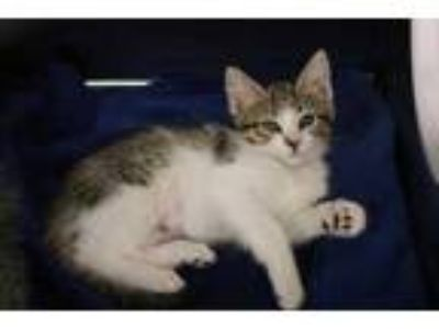 Adopt SWEETIE PI a Brown Tabby Domestic Shorthair / Mixed (short coat) cat in