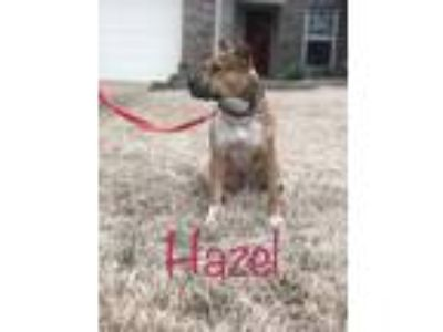 Adopt Hazel a Tan/Yellow/Fawn - with White Pit Bull Terrier / Hound (Unknown
