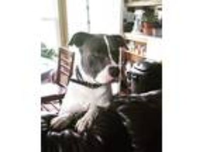 Adopt Rascal a Black - with White Pit Bull Terrier / Mixed dog in Sinking