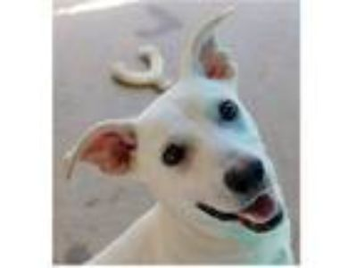 Adopt Pinocchio a White Terrier (Unknown Type, Small) / Mixed dog in Ozark
