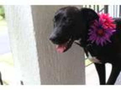 Adopt Bonnie a Black - with White Border Collie / Labrador Retriever / Mixed dog