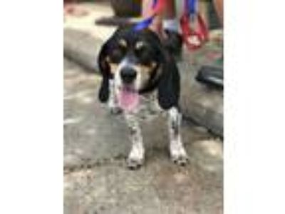 Adopt Gert a Beagle / Mixed dog in New Orleans, LA (25543077)