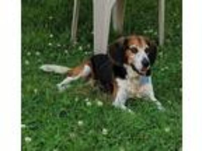 Adopt Buster a Tricolor (Tan/Brown & Black & White) Beagle / Hound (Unknown