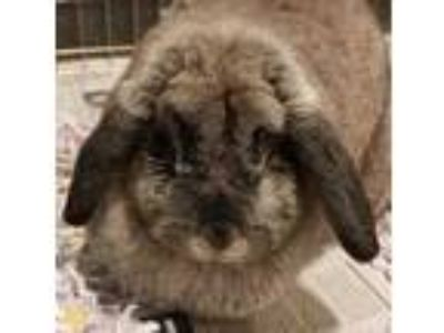 Adopt Lilly 26072-m a Grey/Silver Other/Unknown / Other/Unknown / Mixed rabbit