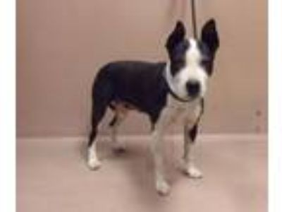 Adopt Yema a Pit Bull Terrier, Boxer