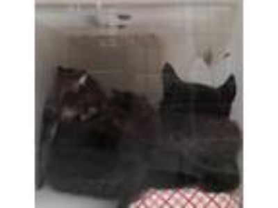 Adopt 163086 a All Black Domestic Shorthair cat in Knoxville, TN (25581670)