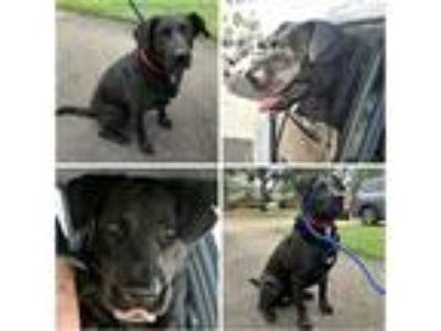Adopt ELLIS a Black - with White Labrador Retriever / Mixed dog in Rootstown
