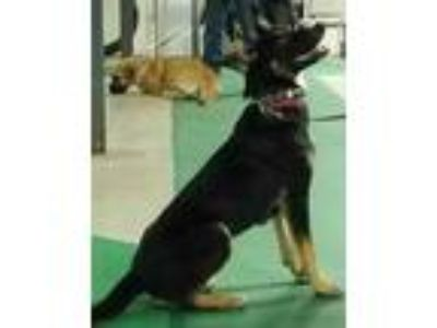 Adopt June a Black German Shepherd Dog / Mixed dog in WATERLOO, IN (23799905)