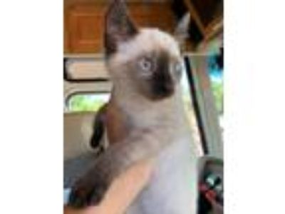 Adopt Cobalt a Cream or Ivory (Mostly) Siamese (short coat) cat in Oakdale