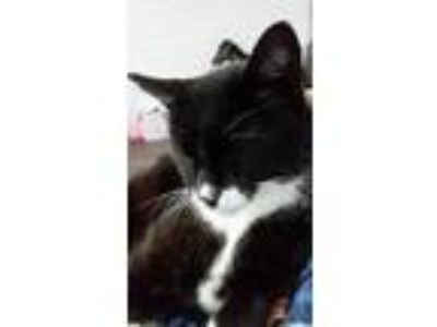 Adopt Toby a Black & White or Tuxedo Domestic Mediumhair cat in Dacula