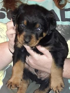 Rottweiler PUPPY FOR SALE ADN-91351 - Rottweiler Puppies