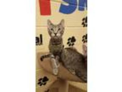Adopt Dru a Gray, Blue or Silver Tabby Domestic Shorthair (short coat) cat in