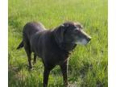 Adopt Nutmeg a Chocolate Labrador Retriever