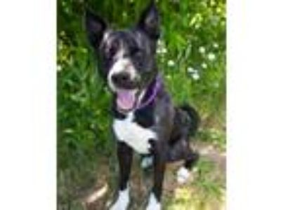Adopt Fynch a Siberian Husky / Pit Bull Terrier / Mixed dog in Troutdale