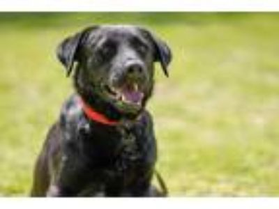Adopt Nico a Black Labrador Retriever / Mixed dog in La Jolla, CA (23787695)
