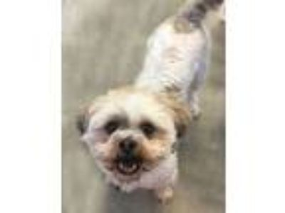 Adopt Alex a Shih Tzu / Mixed dog in Pittsburgh, PA (25518731)